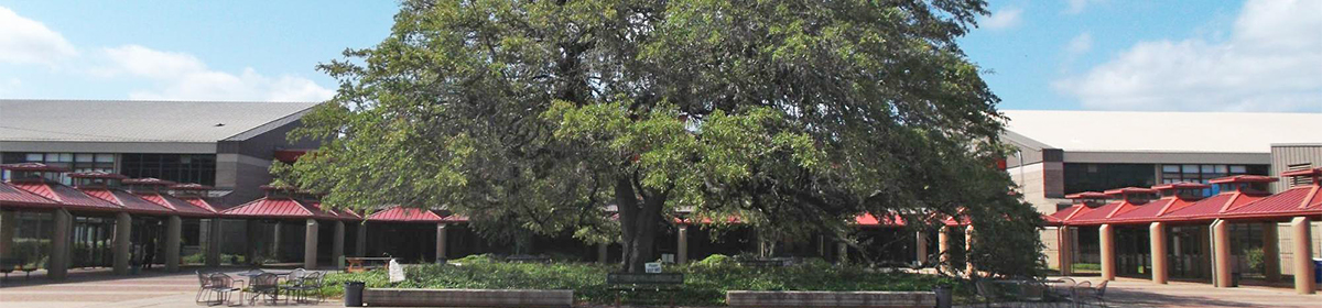 heritage tree on campus grounds